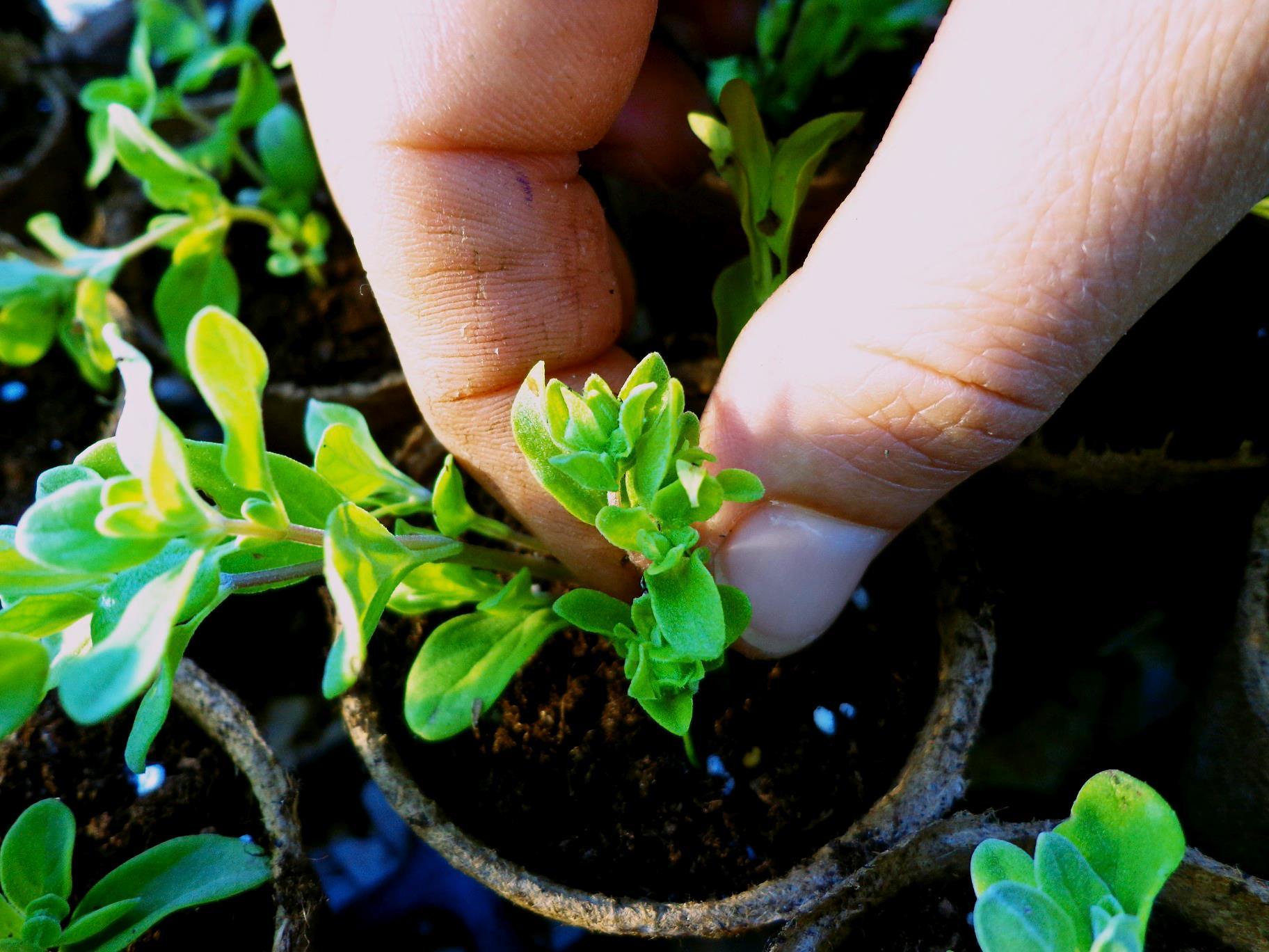Workshop o cultivo de ervas arom ticas em casa portal - Cultivo de hierbas aromaticas en casa ...