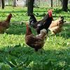 Galinhas e Ovos Frescos: uma tarefa fácil com muitos benefícios