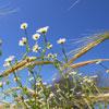Flores silvestres da região de Monsaraz, Alentejo