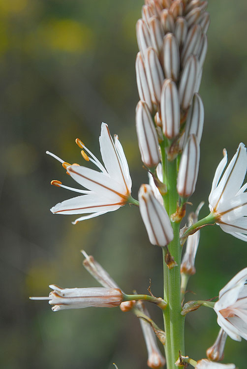 Abrótea-da-primavera_Asphodelus-ramosus