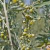 Dica: Absinto – Um insecticida de largo espectro!