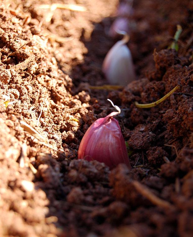 Artigo-2---Cultivo-de-Alhos-3