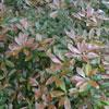 Planta do mês Azereiro no Parque Biológico da Serra da Lousã