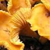 Ficha Cogumelos: Cantharellus cibarius