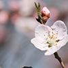 Pêssego (Prunus persica), bonito de se ver, com gosto muito doce e agradável, macio e muito perfumado