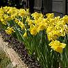 Narcisos-trombeta, belezas luminosas e alegres