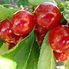 Primeiras cerejas do ano já se colhem em Resende, Festival da Cereja realiza-se nos dias 3 e 4 de junho