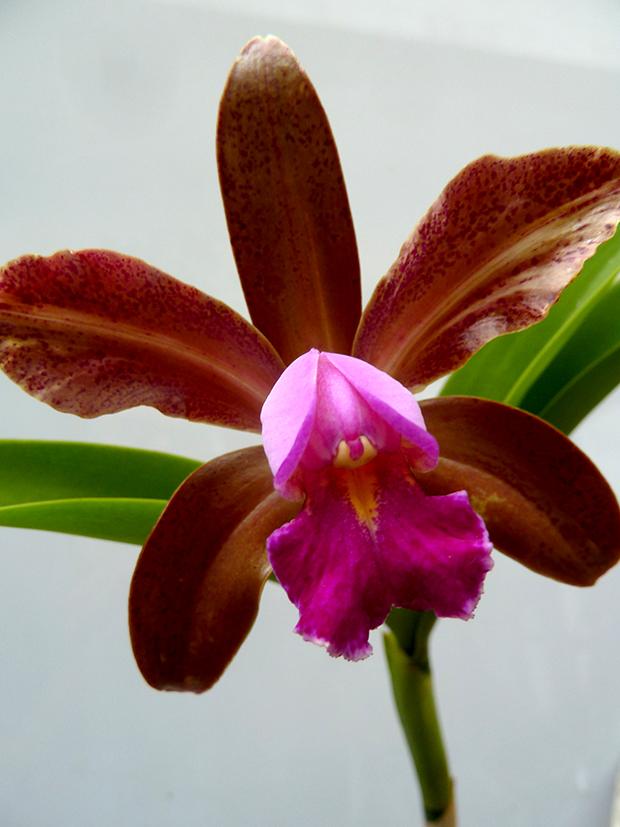 cattleya-bicolor