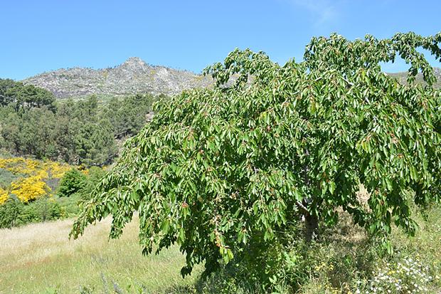 Cerejeiras na Serra da Gardunha