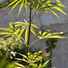 Cânhamo (Cannabis sativa) Morácea