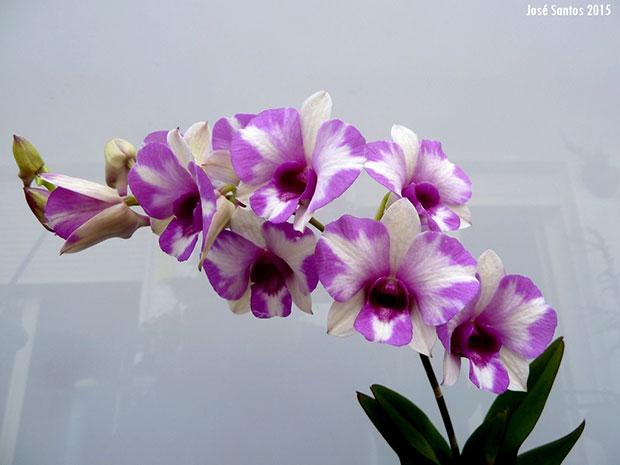 Dendrobium phalaenopsis pelorico