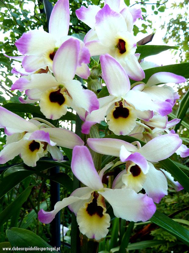 Dendrobium-nobile-aurora