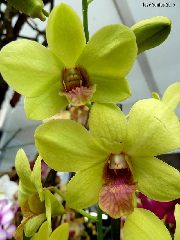 Dendrobium phalaenopsis hibrido