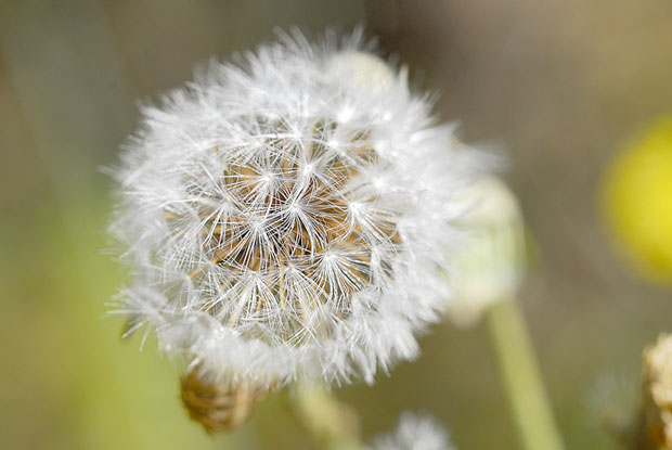 Dente-de-leão_Taraxacum-officinale