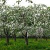 Vamos plantar uma macieira no nosso Jardim?
