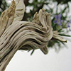 """Bonsai, em sentido estrito, e traduzindo o termo, significa """"árvore em pote""""."""