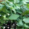 Árvore do Mês de Outubro: Ginkgo biloba
