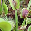 Plantas Carnívoras, necessidades básicas