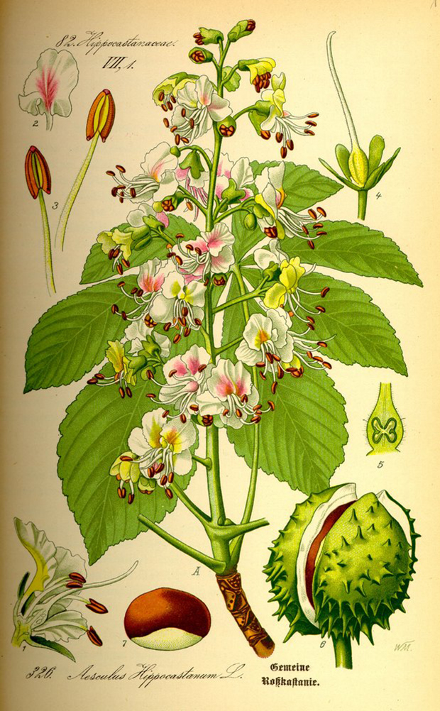 Illustration_Aesculus_hippocastanum0