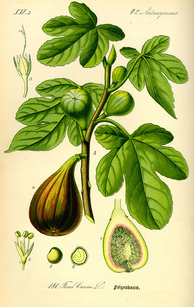 Illustration_Ficus_carica0