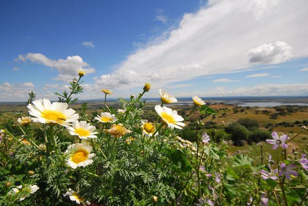Malmequer, Chrysanthemum segetum