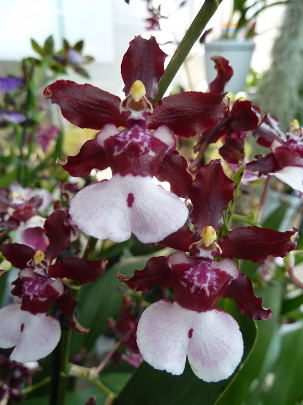 "Oncidium ""Sharry Baby"""