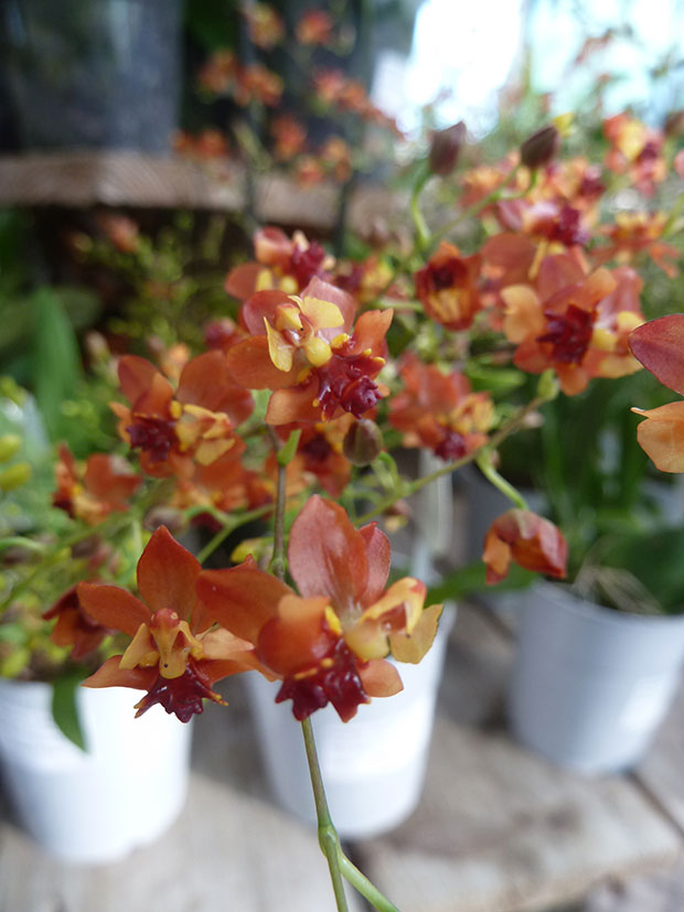 "Oncidium ""Tiny Twinkle"""