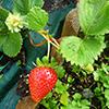 Vamos cultivar Morango