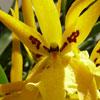 Orquídeas: o género Brassia