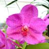 Orquídeas: conheça as Vanda