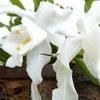 Orquídea Coelogyne cristata,  A Rainha da Neve