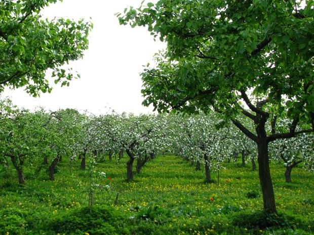 Pomar-de-macieiras
