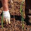 Transplante de Cebolos para a Horta