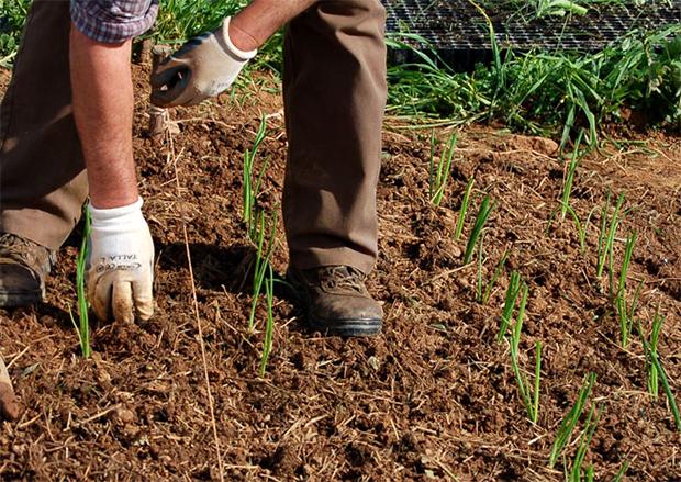 Transplante de cebolos para a terra