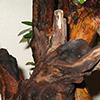 Noções para transplantar um bonsai