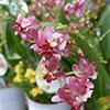 Orquídeas: Oncidium