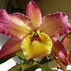 Orquídeas: Dendrobium nobile