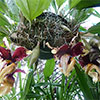 Orquídeas: STANHOPEA