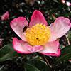 Camellia sasanqua Thunb. (1784)