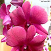 Orquídeas: Dendrobium phalaenopsis