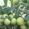 Cuidados para os tomateiros