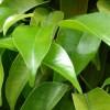 Ficha: Ficus Benjamina