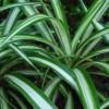 Ficha: Chlorophytum comosum
