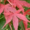 Ficha: Acer Palmatum