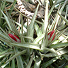 Bromélias: A espécie de planta aérea mais divulgada em Portugal; Tillandsia aeranthus