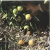 Aguado dos Citrinos: Phytophthora hibernalis