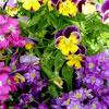 Flores que se comem, quem as cultiva?