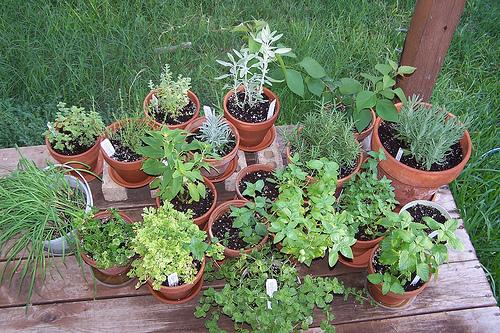 Dica plantas arom ticas portal do for Plantas aromaticas para jardin