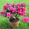 Plantar Rododendros
