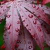 Ficha Bonsai: Cuidados de Cultivo para o Acer Palmatum